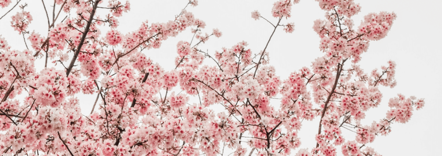 A photo of pink blossom on a tree.