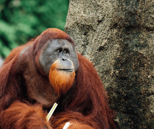A large male orangutan sits next to a tree with a facial expression that seems like he is in deep thought. Photo taken by CHUTTERSNAP.